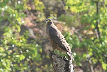 Bandhavgarh- Serpent Eagle.jpg