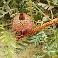 Banksia blechnifolia-IMG 9314.JPG