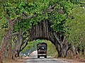 Banyans along road P1010720 (cropped).jpg