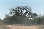 Baobab tree in South-Africa.