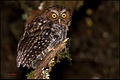 Bare-shanked Screech-Owl (Megascops clarkii).jpg