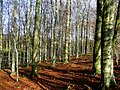 Bare beeches - geograph.org.uk - 1052740.jpg