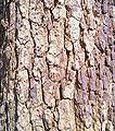 Bark of Albizzia lebbek.jpg