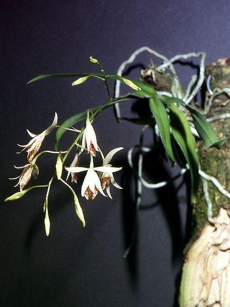 http://upload.wikimedia.org/wikipedia/commons/thumb/e/eb/Barkeria_obovata_Orchi_001.jpg/450px-Barkeria_obovata_Orchi_001.jpg