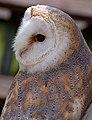 Barn Owl 2 (5990585955).jpg