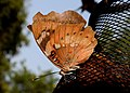 Baronet Euthalia nais UN by Dr. Raju Kasambe DSCN9440 (9).jpg