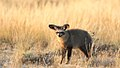 Bat-eared fox, Otocyon megalotis, at Kgalagadi Transfrontier Park, Northern Cape, South Africa (34649394520).jpg