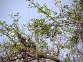 Bauhinia racemosa (6904616500).jpg