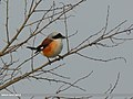 Bay-backed Shrike (Lanius vittatus) (34059444526).jpg