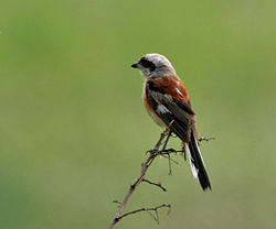 Bay-backed Shrike (Lanius vittatus) in Kolkata W IMG 4551.jpg