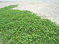 Beach Morning Glory (Ipomoea pes-caprae) at Kakinada beach 05.JPG