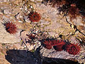 Beadlet anemones near Wembury.jpg