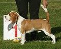 Beagle red & white 1.jpg