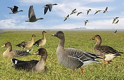 Bean Goose from the Crossley ID Guide Britain and Ireland
