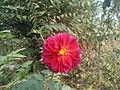 Beautiful dahlia pink.JPG