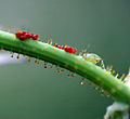 Beetle Eggs and Aphid? (129853344).jpg