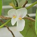 Begonia ampla-IMG 5505.jpg