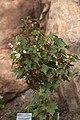 Begonia dregei GotBot 2015 002.jpg