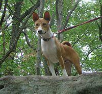 Congo Dog Breed