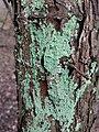 Berkheide - Gelobde poederkorst (Lepraria finkii) v2.jpg