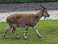 Berlin Tierpark Friedrichsfelde 12-2015 img03 Markhor.jpg