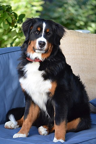 Bernese Mountain Dog - A 60-pound, eight-month-old Bernese Mountain Dog puppy