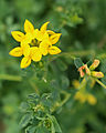 Birds-foot trefoil circle-of-7 top.jpg