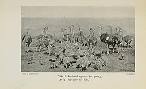 Egg tossing (behavior) - Drawing of ostrich's with their young.