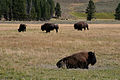 Bison in Hayden Valley (3678675769).jpg