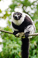 Black-and-white Ruffed Lemur (22286240162).jpg