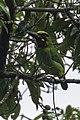 Black-banded Barbet - Carita - West Java, Indonesia.jpg
