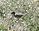 Black-capped warbling-finch CN.jpg
