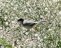 Black-capped warbling-finch CN