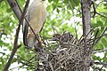 Black-crowned Night-Heron young and adult (48432239517).jpg