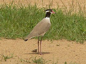 Black-headed plover.jpg
