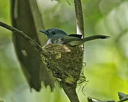 Black-naped Monarch (Hypothymis puella puella) female on nest.jpg