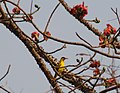 Black-naped Oriole Oriolus chinensis at BNHS Nature Reserve Goregaon East Mumbai IMG 4960 (1).JPG