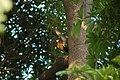 Black-rumped flameback (18375757102).jpg