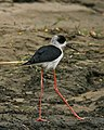 Black-winged Stilt (Himantopus himantopus) immature - Flickr - Lip Kee (1).jpg