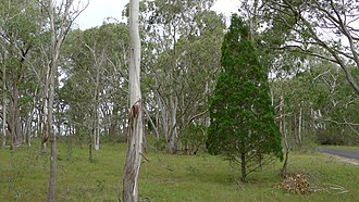 Callitris endlicheri - Image: Black Cypress Pine (8677894818)