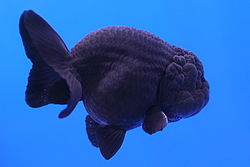 Black Ranchu.jpg