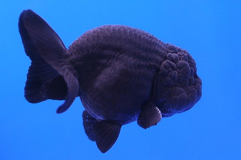 Золотая рыбка - Львиноголовка.