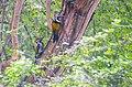Black Rumped Flameback Woodpecker, Salt Lake Canal Side, Kolkata 3.jpg