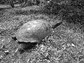 Black and white photograph, El Chato Reserve Galápagos tortoise (Chelonoidis nigra).JPG