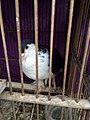 Black and white pigeon in Jatinegara Market.jpg