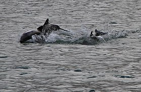 Black dolphins around isla gordon.jpg