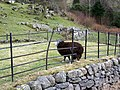 Black sheep - geograph.org.uk - 1803939.jpg