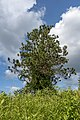 Blacklick Woods-Evergreen with Virginia Creeper 1.jpg