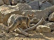Blandford's fox 1
