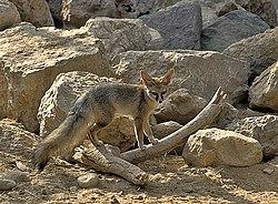 Vulpes cana